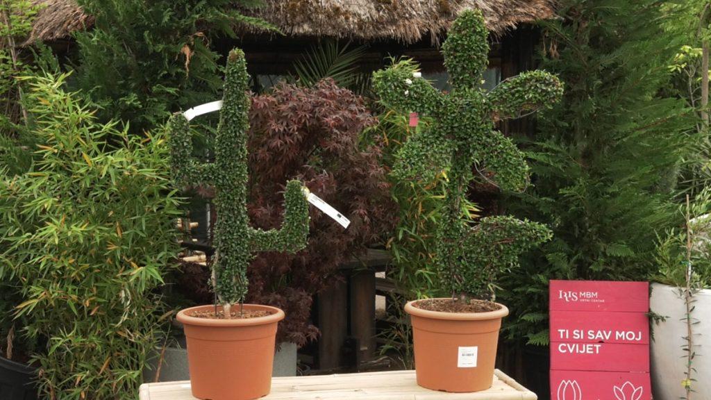 kaktus-cvijet-topijari-iris-MBM-vrtni-centar-domnakvadrat