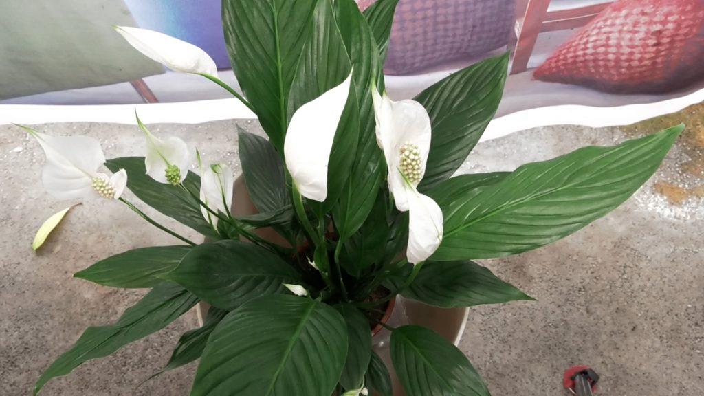 mirni-ljiljan-cvijet-domnakvadrat
