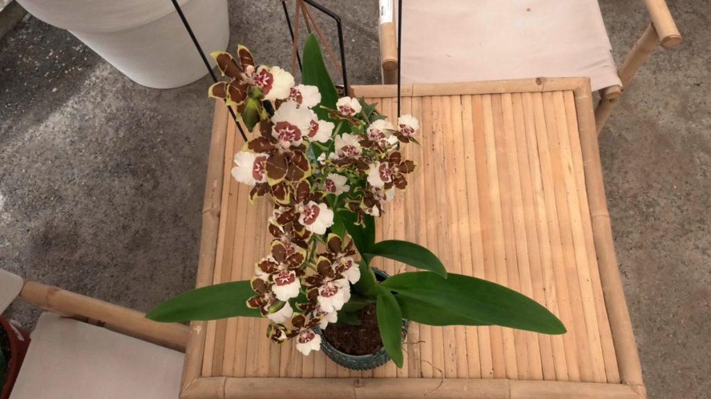 orhideja-sobno-bilje-domnakvadrat
