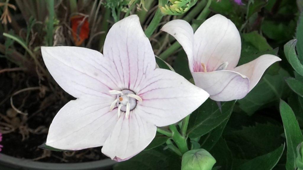 platycodon-iris-mbm-vrtni-centar-domnakvadrat