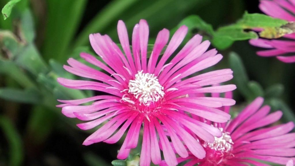 pustinjska-ruža-iris-mbm-vrtni-centar-domnakvadrat