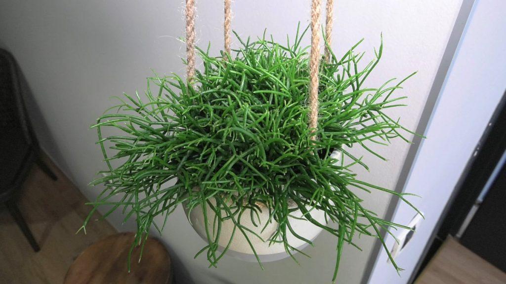 rhipsalis-puzavica-iris-mbm-domnakvadrat
