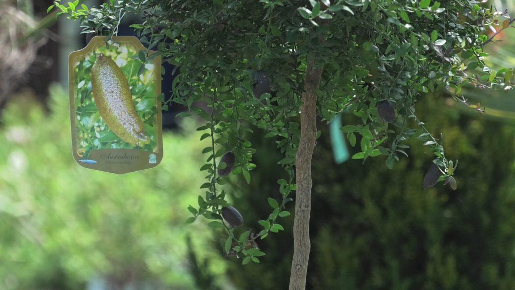 australska-limeta-iris-mbm-vrtni-centar-domnakvadrat