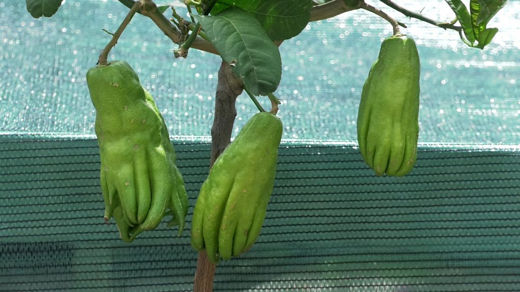 budina-ruka-citrus-plod-iris-mbm-vrtni-centar-domnakvadrat