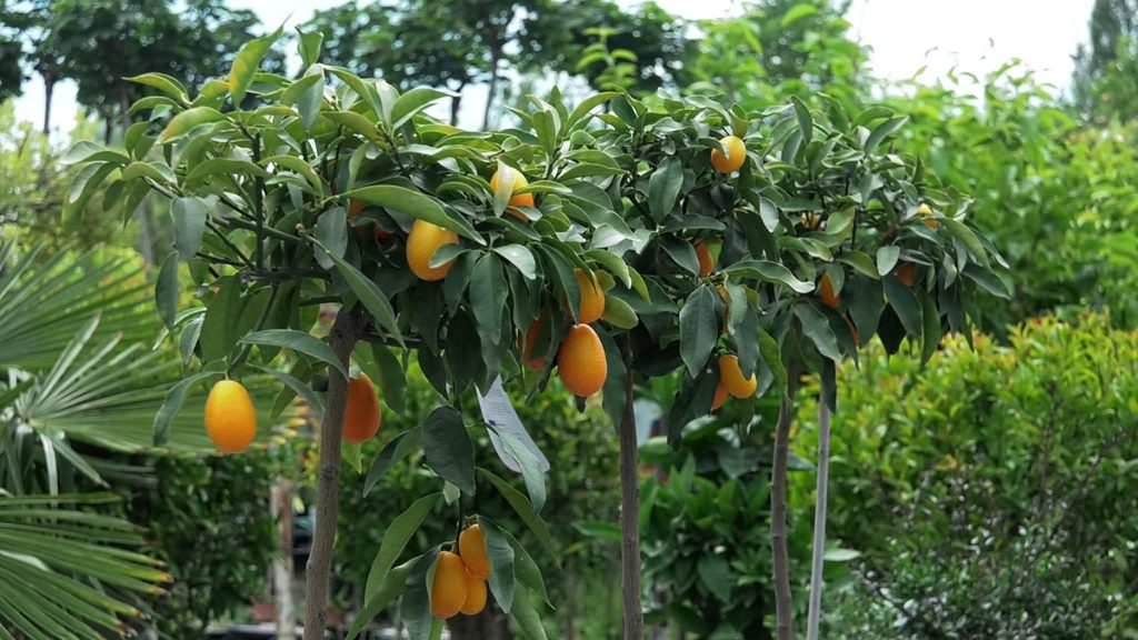 kumkvat-citrus-iris-mbm-vrtni-centar-domnakvadrat