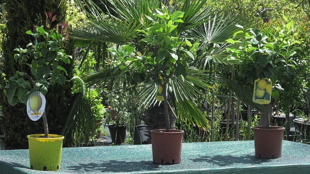 limun-stabla-iris-mbm-vrtni-centar-domnakvadrat