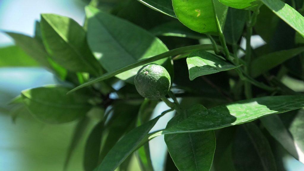 naranča-plod-iris-mbm-vrtni-centar-domnakvadrat