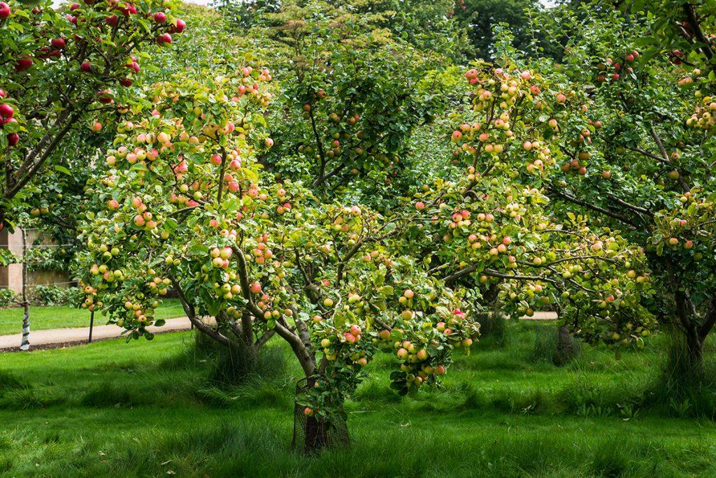 stablo-jabuke-vrt-domnakvadrat