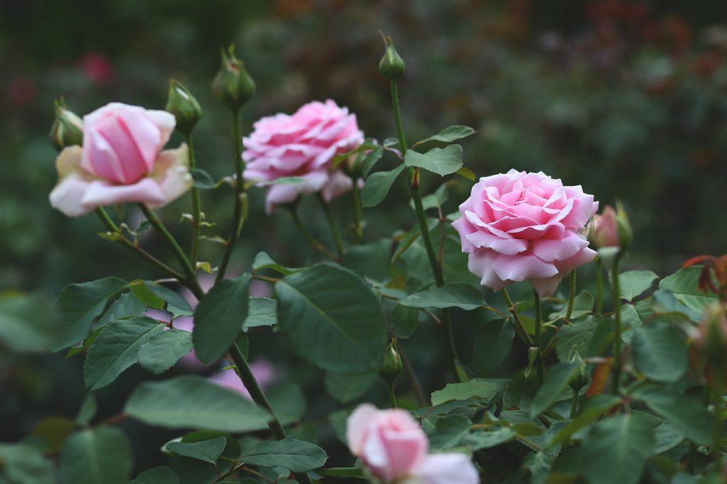 vrt-roze-ruže-domnakvadrat
