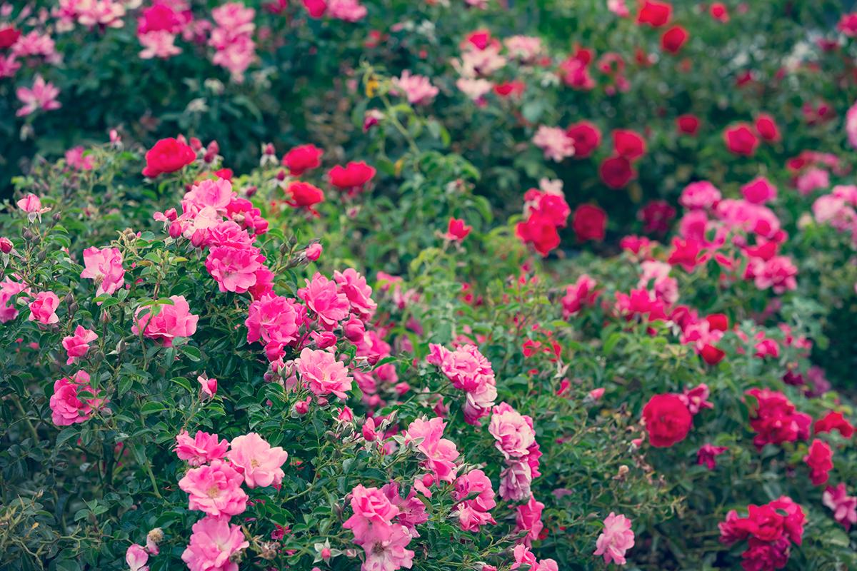 vrt-ruže-domnakvadrat