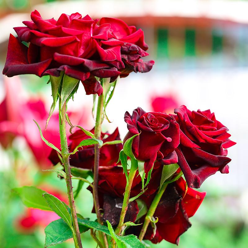 crvene-ruže-vrt-domnakvadrat