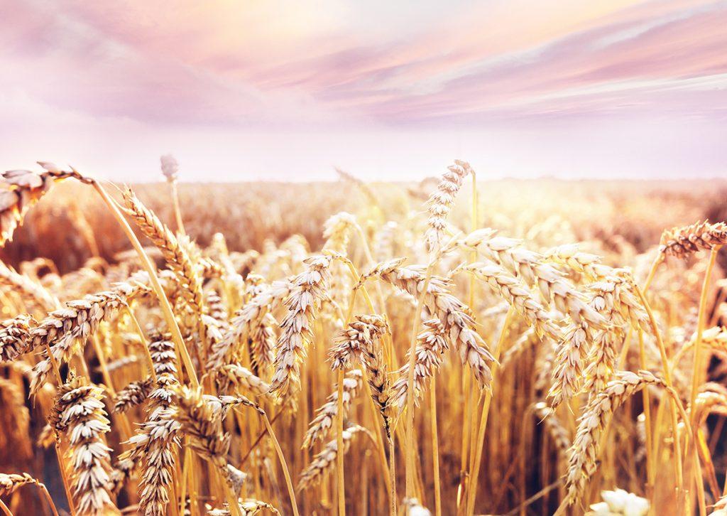 polje-pšenica-domnakvadrat