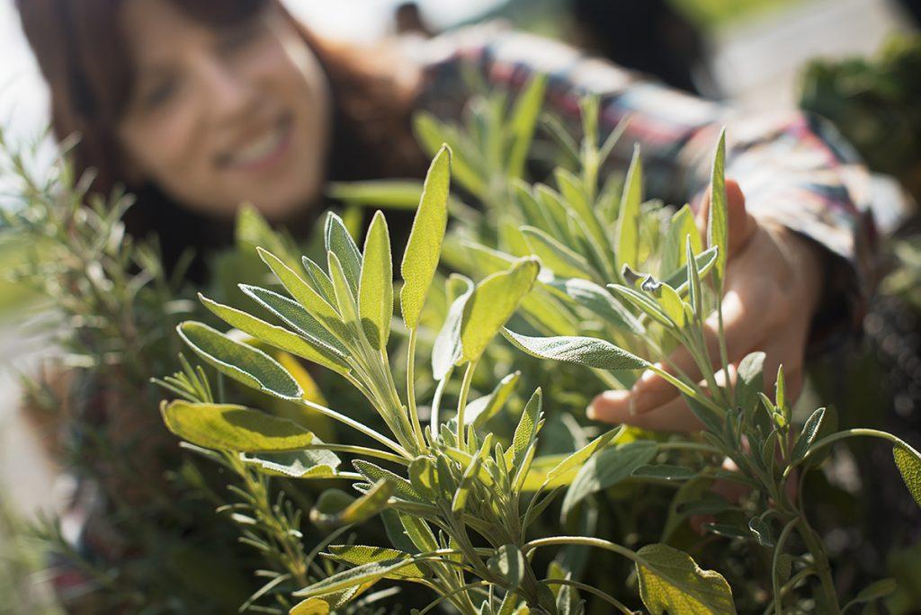 kadulja-biljka-domnakvadrat