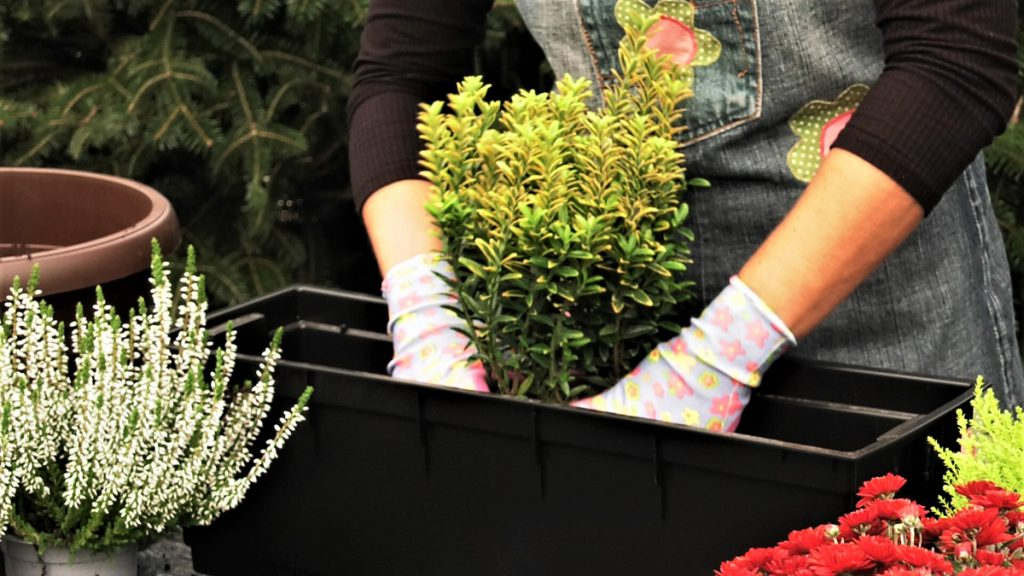euonymus-sadnja-vrtni-centar-šestine-domnakvadrat