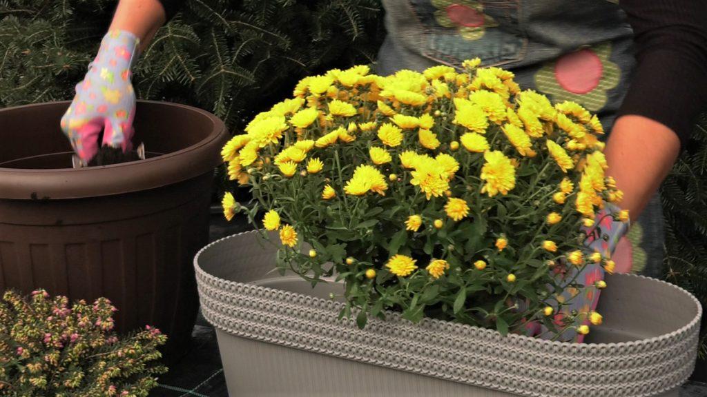 sadnja-krizantema-vrtni-centar-šestine-domnakvadrat
