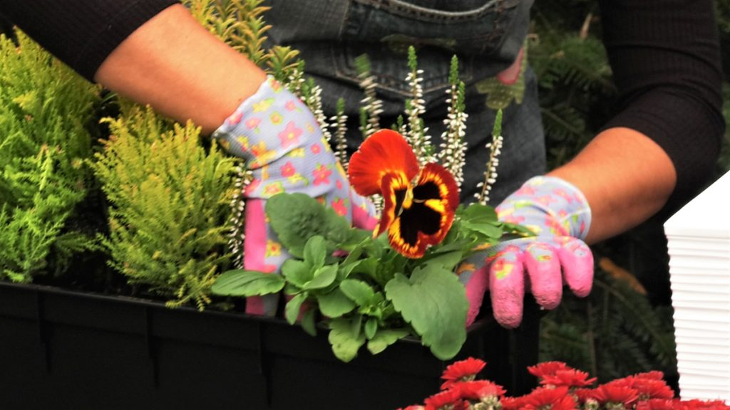 maćuhica-smeđa-sadnja-vrtni-centar-šestine-domnakvadrat