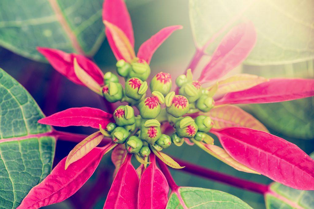 cvijet-božićne-zvijezde-domnakvadrat