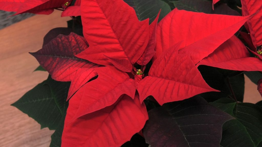 listovi-crvene-zvijezde-zrinjevac-domnakvadrat