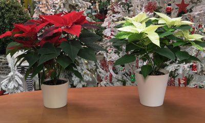 božićne-zvijezde-zrinjevac-domnakvadrat