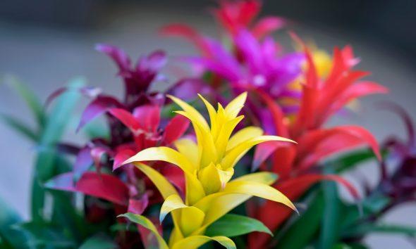 bromelija-egzotična-biljka-domnakvadrat