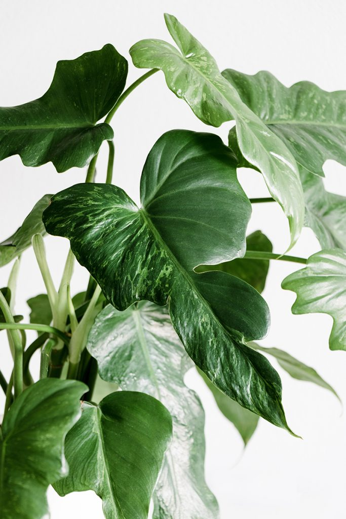filodendron-domnakvadrat