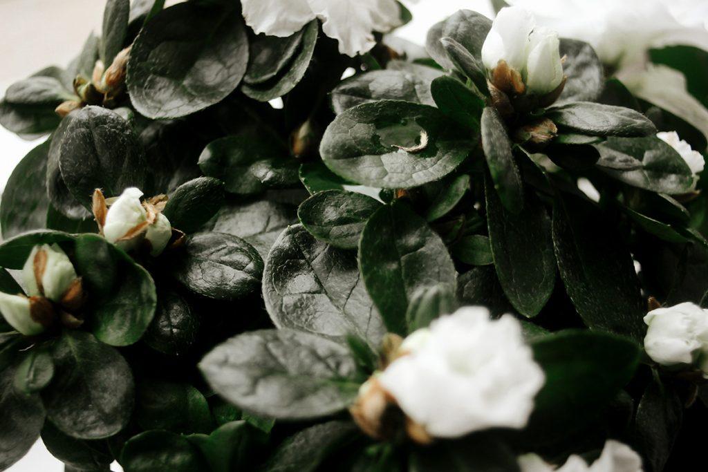 azalea-domnakvadrat