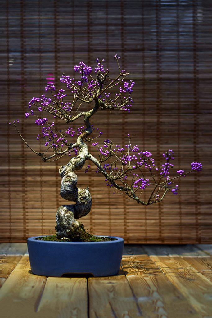 bonsaidrvce-ljubičasto-domnakvadrat