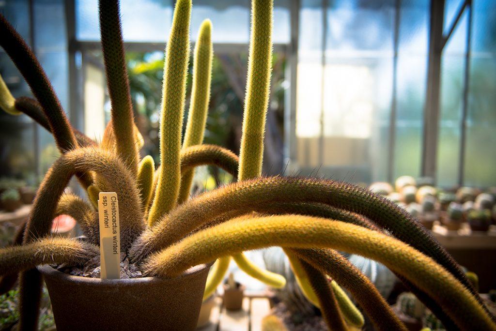 zmijski-kaktus-domnakvadrat