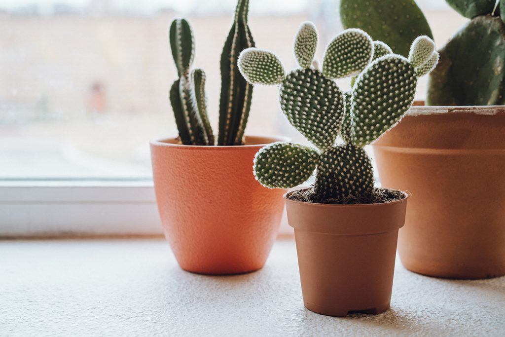 kaktusi-domnakvadrat