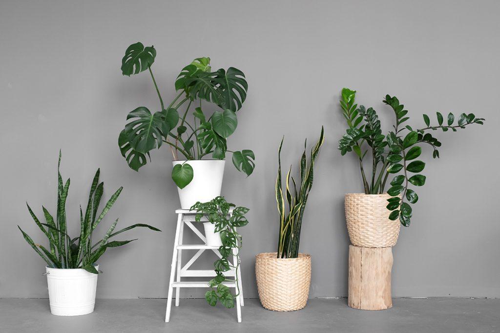 sobne-biljke-monstera-sanseverija-domnakvadrat
