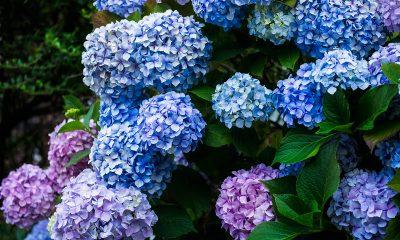šarene-hortenzije-domnakvadrat