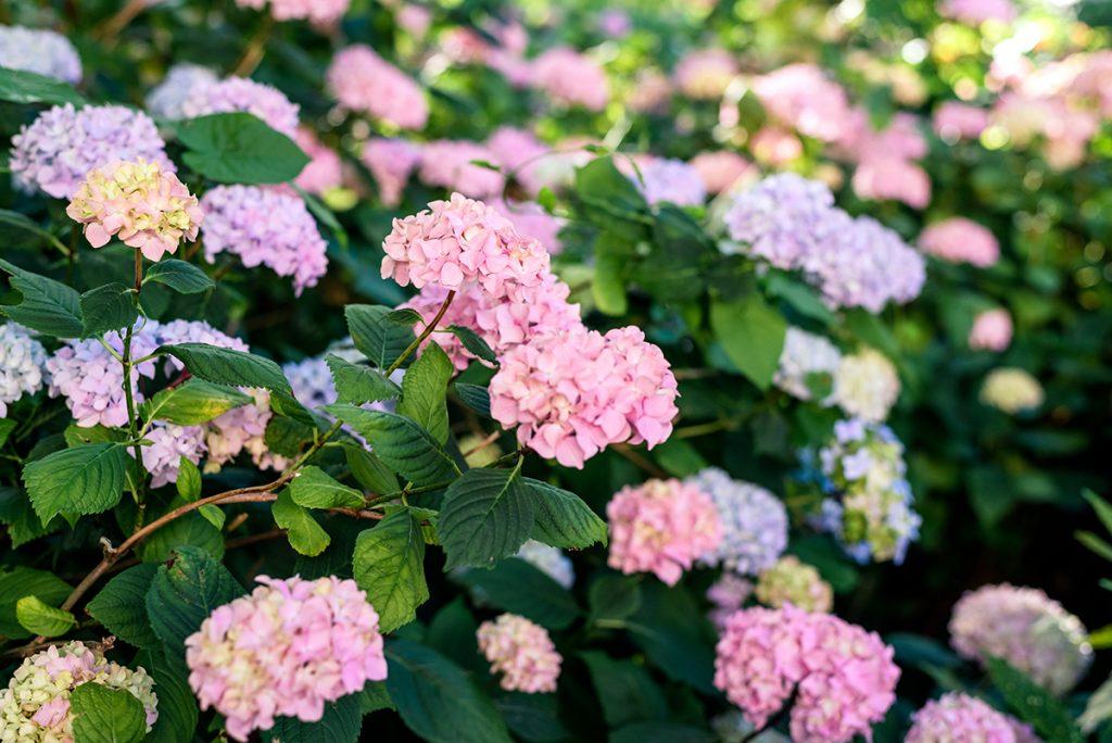 ružičaste-hortenzije-domnakvadrat
