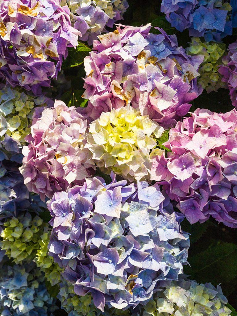 hortenzije-grm-domnakvadrat