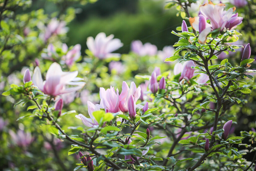 drvo-magnolije-domnakvadrat
