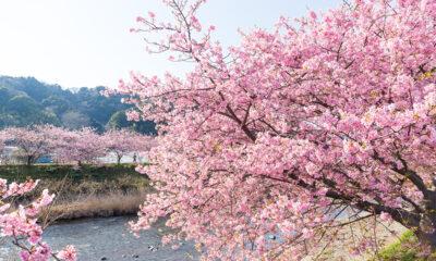 japanske-trešnje-domnakvadrat