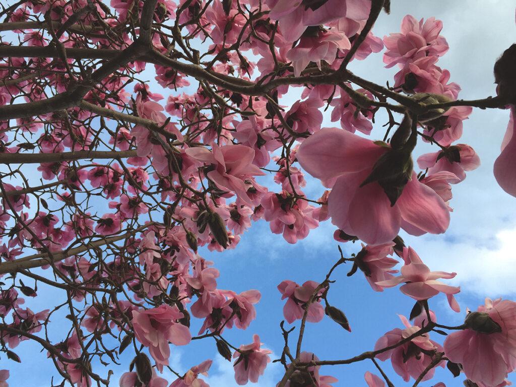 ružičasta-magnolija-domnakvadrat