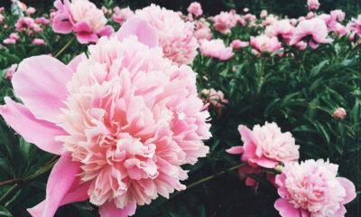ružičasti-božuri-domnakvadrat