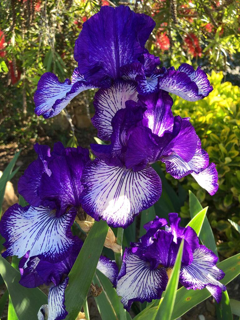 ljubičasti-iris-domnakvadrat