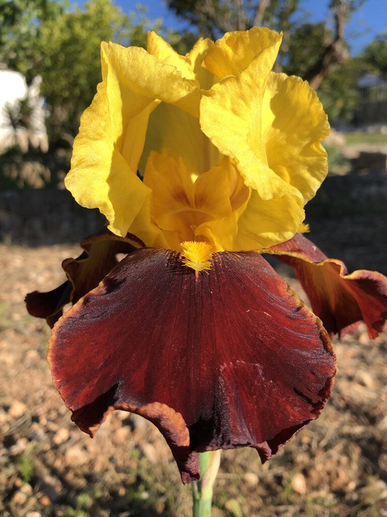 šareni-iris-domnakvadrat