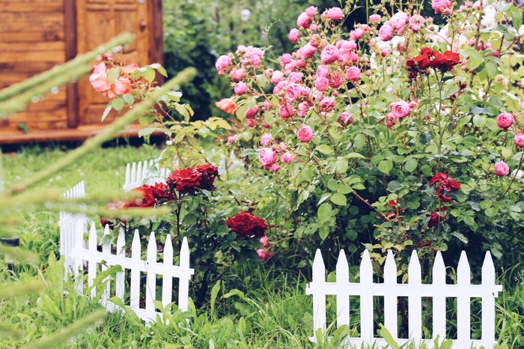 ruže-u-vrtu-domnakvadrat