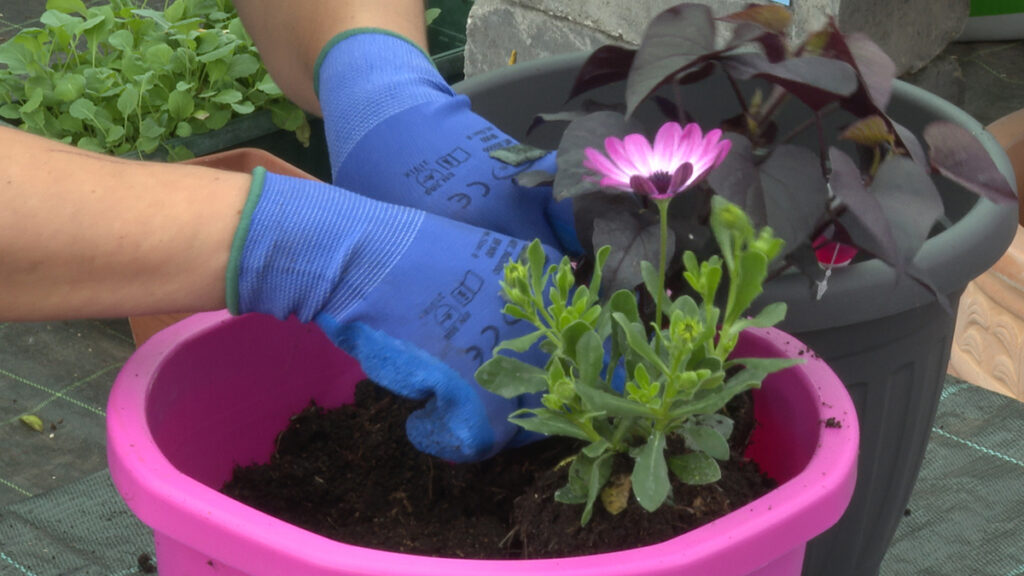 sadnja-batata-i-ivančice-vrtni-centar-šestine-domnakvadrat
