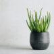 biljka-aloe-vera-domnakvadrat