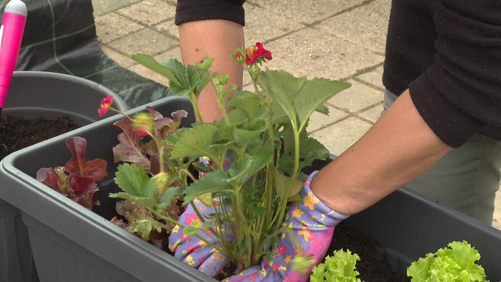 jagoda-salate-sadnja-vrtni-centar-šestine-domnakvadrat