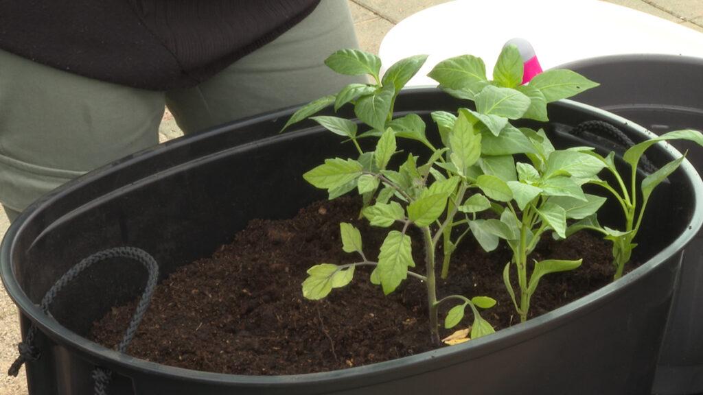 paprika-i-rajčica-sadnja-vrtni-centar-šestine-domnakvadrat