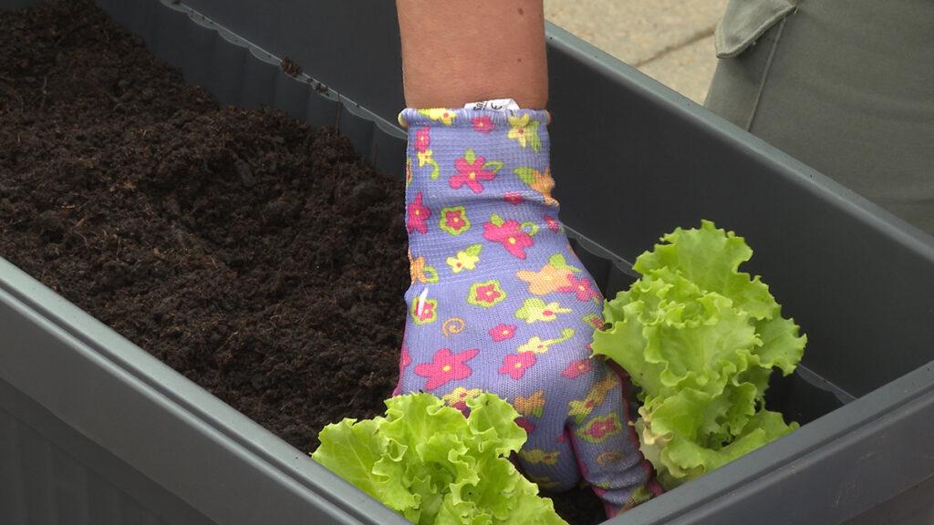salata-sadnja-vrtni-centar-šestine-domnakvadrat