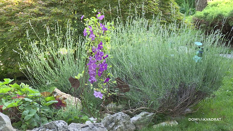 lavanda mediteransko bilje